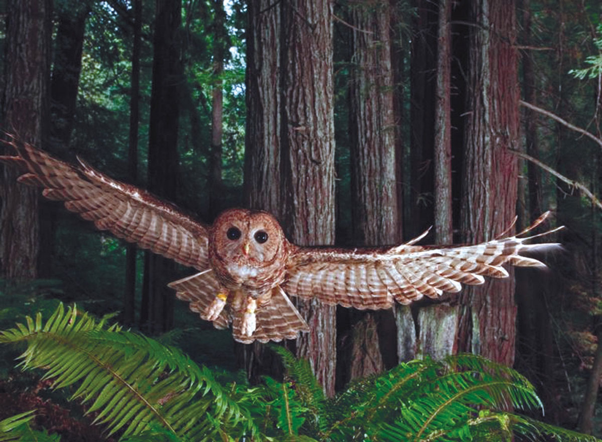 The Northers Spotted Owl  <i>by Michael Nichols, National Geographic</i>