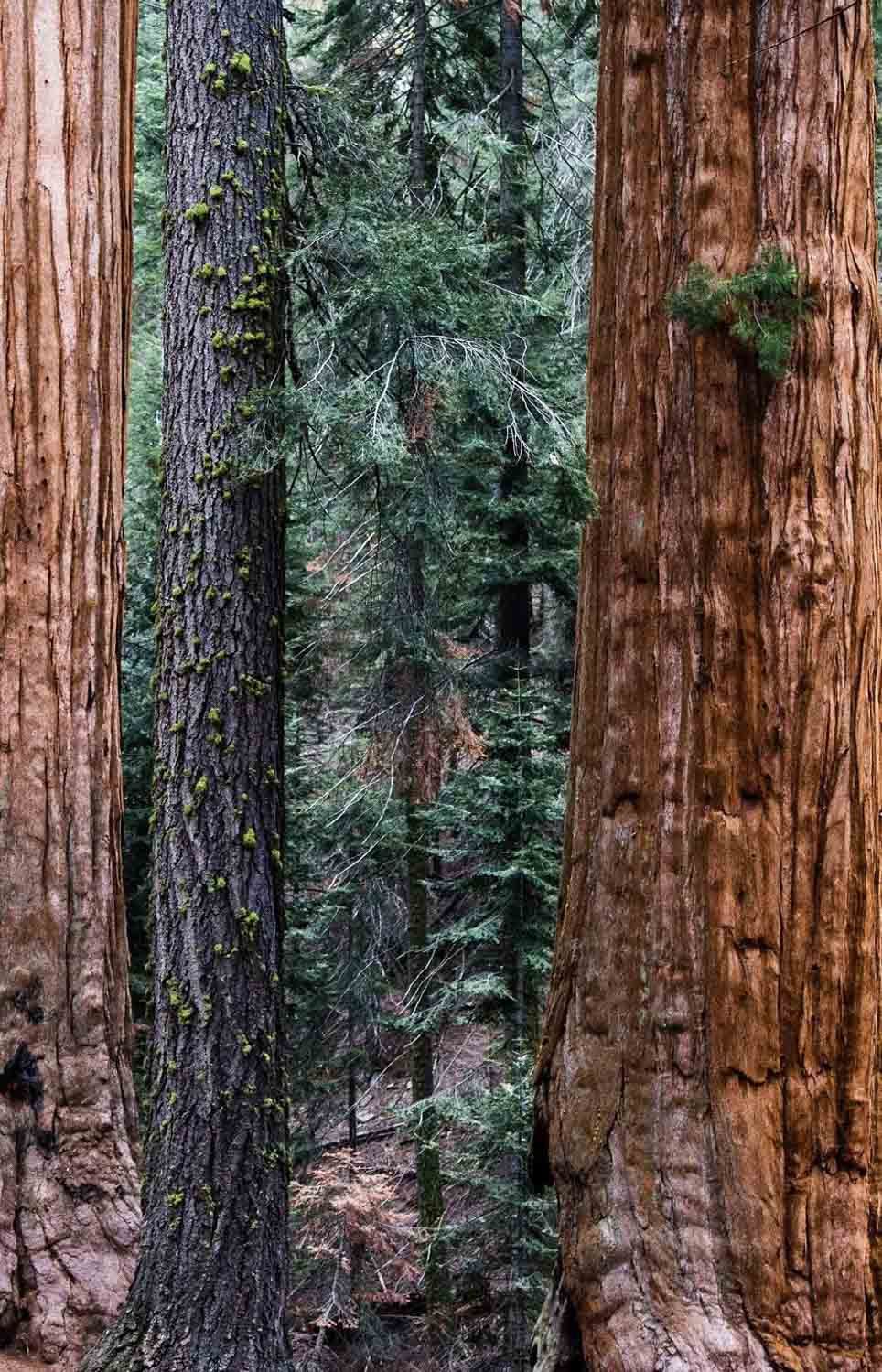 redwood trees-2