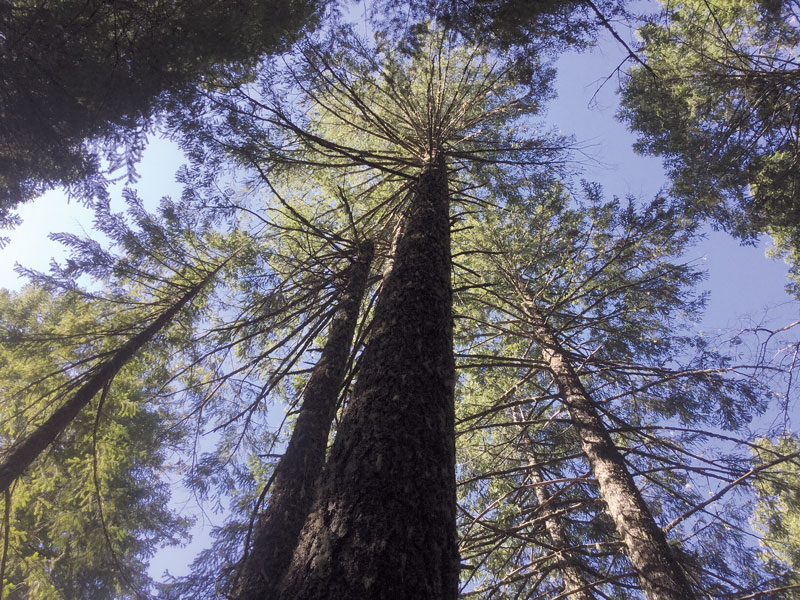 Old-growth forest canopy within a Crawford timber sale logging unit.  by Kimberly Baker of EPIC