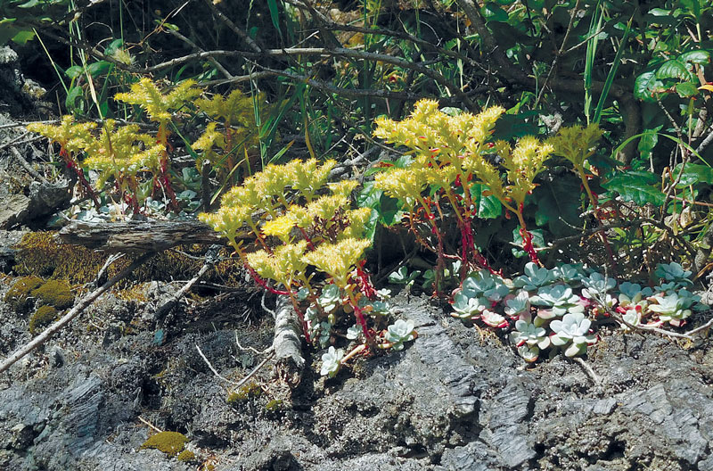 Broadleaved stonecrop in bloom, growing on the roots of a Douglas-fir tree in the Sinkyone Wilderness State Park.  all photos this article by Cheryl Lisin