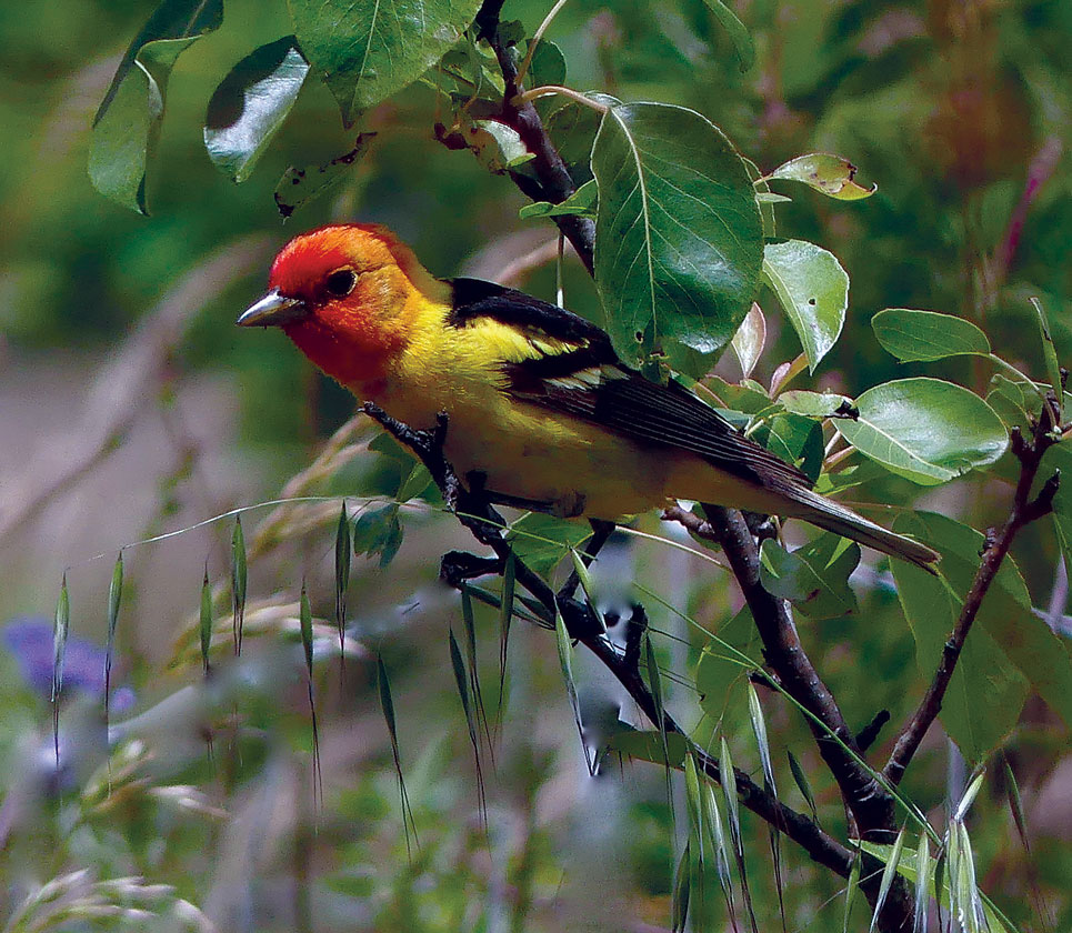 The Western Tanager is perhaps our most colorful neotropical migrant. It winters from Mexico, south to Costa Rica, and in summer it can be found breeding as far north as western Canada.
