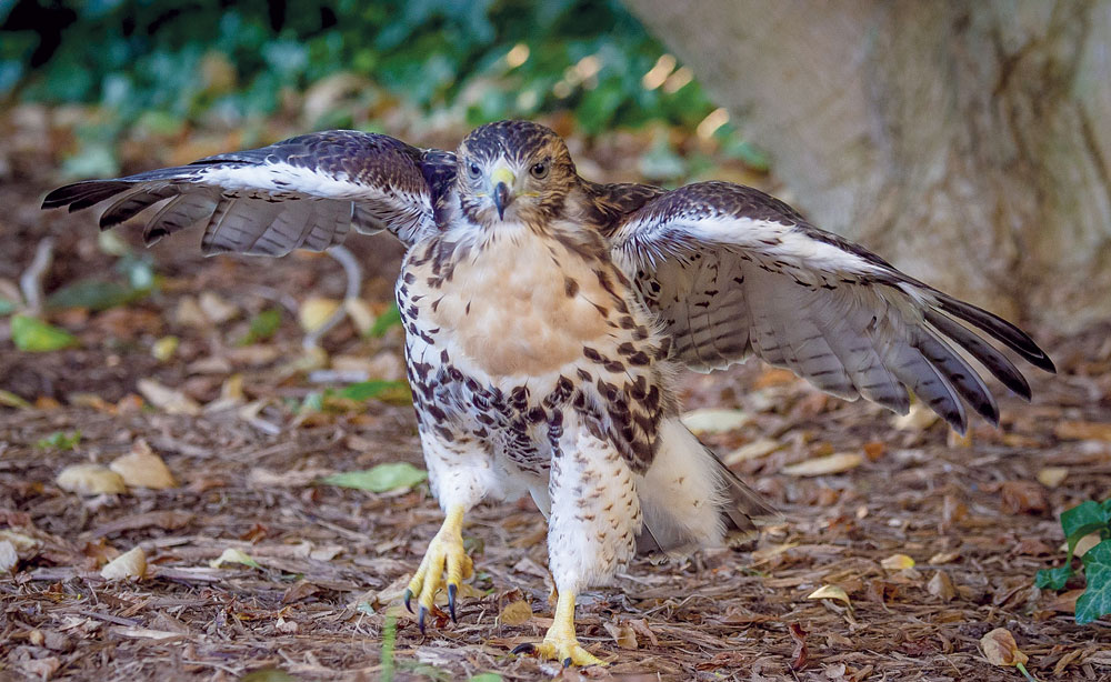 A fledgling red-tailed hawk. Photo from needpix.com